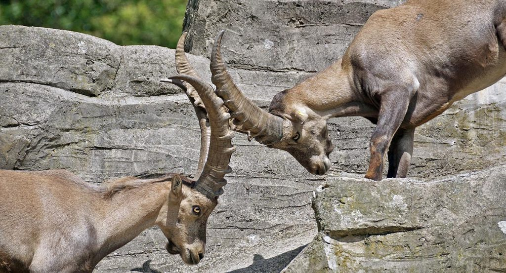 Strong rams butting heads
